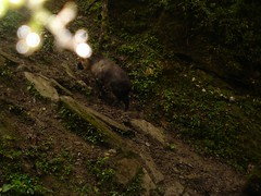 Takin (eMammal) Tags: takin wolong budorcastaxicolor geo:lon=30873 taxonomy:common=takin sequence:index=1 sequence:length=1 otherhoovedmammals taxonomy:group=otherhoovedmammals siwild:study=wolongcameratrapsurvey siwild:studyId=wolongbaitedsets geo:locality=china siwild:plot=wolong siwild:location=lwwl08811a siwild:camDeploy=chinadeploy194 geo:lat=103173 siwild:date=200810040815000 siwild:trigger=wwl08811a01320 siwild:imageid=wwl08811a01320 sequence:id=wwl08811a01320 file:name=wwl08811a01320jpg taxonomy:species=budorcastaxicolor sequence:key=1 siwild:region=china BR:batch=sla0620101119044543 siwild:species=12 file:path=dchinachinacameraimagedigitalafter2008wolongnaturereservewwl08811a01wwl08811a01320jpg