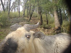 Takin (eMammal) Tags: takin wolong budorcastaxicolor taxonomy:common=takin geo:lon=32628 sequence:index=1 sequence:length=1 otherhoovedmammals taxonomy:group=otherhoovedmammals siwild:study=wolongcameratrapsurvey siwild:studyId=wolongbaitedsets geo:locality=china siwild:trigger=tjh080907501037 siwild:imageid=tjh080907501037 sequence:id=tjh080907501037 file:name=tjh080907501037jpg taxonomy:species=budorcastaxicolor siwild:plot=tangjiahe siwild:location=tjh0809075 siwild:camDeploy=chinadeploy170 geo:lat=104759 siwild:date=200904221710000 sequence:key=1 siwild:region=china BR:batch=sla0620101119044543 siwild:species=12 file:path=dchinachinacameraimagedigitalafter2008tangjiahenaturereservetjh080907501tjh080907501037jpg