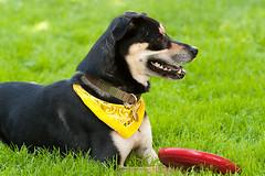 Break in the action (beyondramen) Tags: dog oliver frisbee handsomeboy dogsitting atthepark