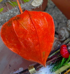 Physalis alkekengi, Chinese LAMPION, Chinese LANTERN (eagle1effi) Tags: cameraphone stilllife food detail macro nature fruits mobile horizontal closeup fruit germany handy nokia still healthy berry mood moody berries phone eating many interior details meals cellphone atmosphere indoor nobody fresh indoors eat exotic health meal mobilephone tropical tropic inside stillife diet blume makro moods ambience tropics celly atmospheric stills gooseberry lampion freshness closer nutrition cellphonecamera quantity tropicalfruit elderberry partof handykamera tropicalfruits elderberries capegooseberry lampionblume views200 views300 f2856 naturemasterclass 6220c1 fallherbst nokia6220c1 50megapixel gpsexacthybridgeomapped