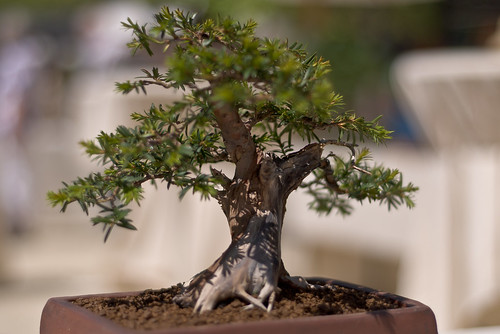 money plant tree. bonsai trees can be a great