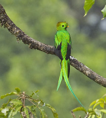 Quetzal in Tree- Costa Rica (PictureOnTheWall) Tags: costarica quetzal trogon pharomachrusmocinno savegre resplendantquetzal sangerardodedota canoneos1dmark4