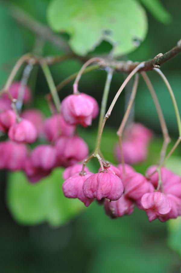 マユミ(真弓)~念珠の松庭園
