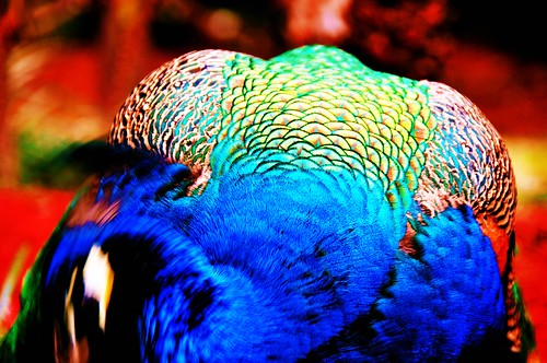"Peacock • <a style=""font-size:0.8em;"" href=""http://www.flickr.com/photos//5196698808/"" target=""_blank"">View on Flickr</a>"
