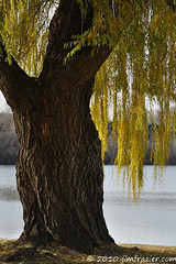 Weeping Willow (Jim Frazier) Tags: park old november autumn trees wild plants usa color tree green fall nature water leaves river landscape photography leaf illinois big ancient flora nikon scenery alone fallcolor riverside natural branches scenic bank sunny class il foliage willow bark trunk riverfront trunks kanecounty foxriver kane riverbank weepingwillow stable preserve stcharles thick lonetree citypark 2010 saintcharles sidelight stability gardenblog verticallines d90 interestinglight q4 pottawatomie parkdistrict pottawatomiepark stcharlesparkdistrict ldnovember stcblog ld2010 jimfraziercom jfpblog 20101120pottpark 101120c 3cblog