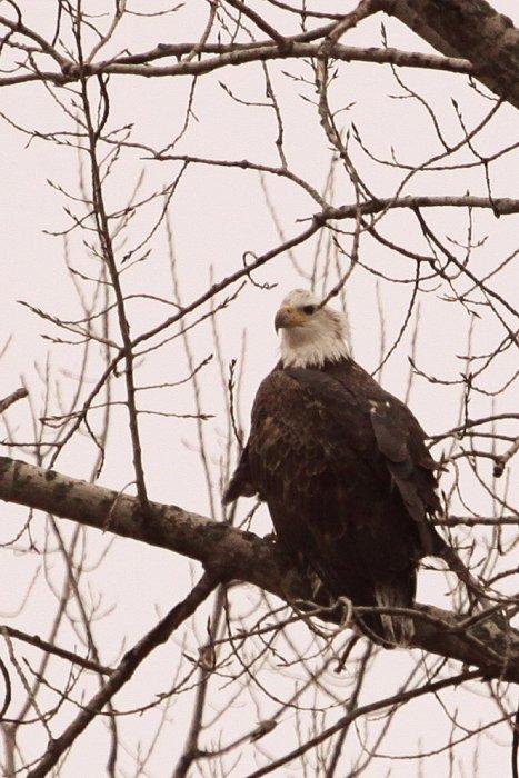 11-20-eagle3