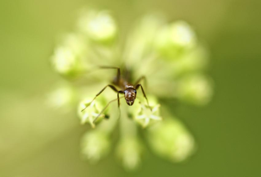 Langgam (Ants)