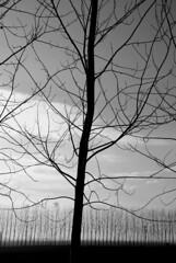 (Chiara Franceschelli) Tags: bw panorama white black alberi italia emilia bianco nero paesaggio romagna comacchio contrasto