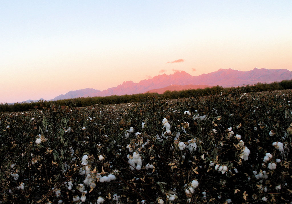 Cotton and Pink Organ Mountains