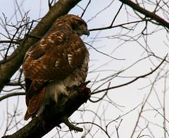 Hawk (hmb52) Tags: philadelphia pennsylvania hawk raptor freshwater citydweller darbycreek tidalmarsh darbytownship ifhecouldreadhecouldreadanewspaperat100meters
