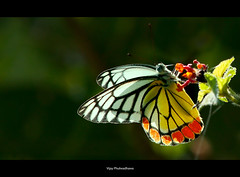 Backlit Butterfly (Vijay..) Tags: nature canon butterfly colorful backlit 362 explored ef70300 vijayphulwadhawa