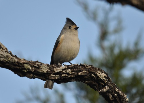 black0crested titmouse