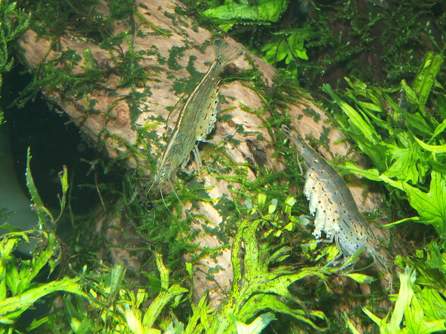 PB304774 大和藻蝦
