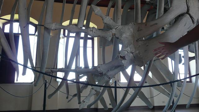 Mão humana e os ossos da barbatana de uma baleia. Qualquer semelhança NÃO é mera coincidência