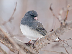 So Sweet (JacquiTnature) Tags: bird nature wildlife junco ngc olympus aves wv ornithology zuiko darkeyedjunco songbirds slatecoloredjunco westvirginiawildlife coth5