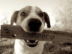 loverr (Willow Creek Photography) Tags: dog mutt canine mansbestfriend mongrel mixedbreed femaledog k9 brownandwhitedog harleyrey kingstonreyphotography