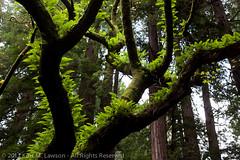 Fern Covered Tree II (Kurt Lawson) Tags: green backlight moss redwood ferns nationalmonument
