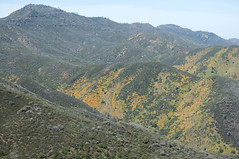 Poppies in the Foothills (Eric Hunt.) Tags: california orange flower hills poppies mariposa papaveraceae inpicasa