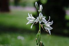 Es blüht überall (J.Weyerhäuser) Tags: stadtpark hechtsheim rhododendron stadt