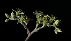 Succulent Crowns (Bill Gracey 15 Million Views) Tags: succulent crowns offcameraflash macrolens sidelighting yongnuorf603n yongnuo blackbackground color colorful clarity sharpness flowers flores yellow homestudio tabletopphotography