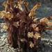 clustered+broomrape%2C+Orobanche+fasciculata