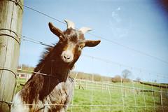 EXPLORED GOAT (DragonDrop) Tags: lomo lca yorkshire goat explored