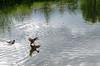 Landing - DSC_0459 (John Hickey - fotosbyjohnh) Tags: 2017 april2017 cabinteelypark dublin dunlaoghairerathdowncouncil duck water manmadelake lake pond ireland cabinteely publicpark publicamenity nature nikon nikond5100