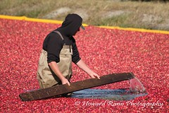 Whitesbog Cranberry Harvest  (136) (Framemaker 2014) Tags: whitesbog cranberry harvest burlington county chatsworth new jersey pinelands pine barrons southern united states america