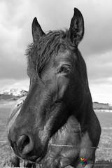 The horse comes - El caballo atento (jfran_cordoba) Tags: caballo hourse fotografia byn nature animales sonny3000 ngc atento