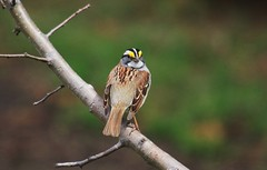 Bruant à gorge blanche  / white-troated sparrow (ricketdi) Tags: bird bruant bruantagorgeblanche whitethroatedsparrow zonotrichiaalbicollis unnc