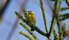Cape May Warbler (praja38) Tags: capemaywarbler warbler nature wildlife life wild capricorn humour animal caps cap male songbird bird feathers feather beak pine forest thicksonswoods woods conifer ontario canada canadian whitby
