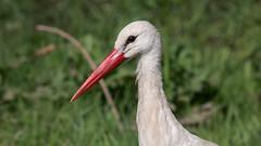 White Stork (keynowski) Tags: whitestork ciconiaciconia leylek nature ngc animalplanet animal bird canon70d canonef400mmf56lusm