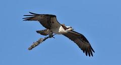 Osprey (kearneyjoe) Tags: osprey stjohns newfoundland
