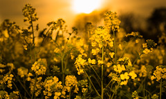 Yellow (--Conrad-N--) Tags: rapeseed raps low sun sunset sony bokeh blossoms yellow field za zeiss catchy color