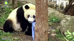 2017_05-07b (gkoo19681) Tags: beibei honeycrate fuzzywuzzy chubbycubby adorableears brighteyed wishing toocute ccncby nationalzoo