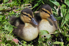 Twins........ (klythawk) Tags: mallards duckings chicks leaves nature spring sunlight wildlife brown green yellow olympus em1mkll omd 100400mm panasonic attenboroughnaturereserve wildlifetrust nottingham klythawk