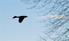 Grackle in Flight (imageClear) Tags: fly bif grackle blue branches nature nikon aperture 105mm d500 imageclear flickr photostream
