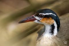 Pájaro Cantil (Jorge De Silva R) Tags: sungrebe heliornis fulica pájaro cantil aves de chiapas birds birdwatchers chiapasmexico legado verde jorgesilva legadoverde