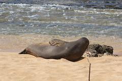 Monk Seal (artolog) Tags: seal rk52 monkseal kauai hawaii wildlife endangeredspecies