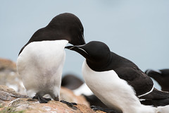 Razorbill (Shane Jones) Tags: razorbill bird seabird nature wildlife skomer nikon d500 200400vr tc14eii