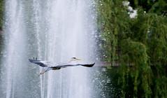 flying (bakobela) Tags: budapest hungary city bigcity nature park bird jib dandelion colors spring