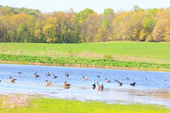 Canada geese at Cardinal Marsh IA 854A5668 (lreis_naturalist) Tags: canada geese cardinal marsh winneshiek county iowa larry reis