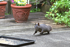 Mother squirrel running to a tray of birdseed (Kerri Lee Smith) Tags: squirrels blacksquirrels greysquirrels easterngreysquirrels mutation mothersday backyard birdseed