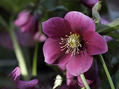 May Flowers (Golden Ginkgo) Tags: nature magenta mothersday cheerful elegant nostalgic purplishpink tender warm lightandshadows bokeh