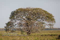 Image available for licensing at JakWonderly.com. Search by image name or keyword. (Jak Wonderly) Tags: ardeaalba brazil egrettathula cuiaba greategrets jungle nature nests pantanal portojofre river rookery roosting snowyegrets southamerica travel tree wildlife matogrosso
