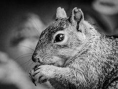 Squirrle-Close_BW-4384
