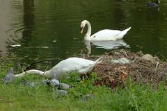 Zwanennest vanmorgen, nog steeds 7 eieren Explore 20170516 (Olga and Peter) Tags: zwanen swans nest eieren eggs fp1150224