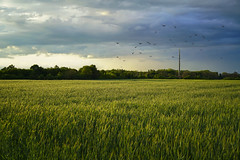 Crows over the cornfield