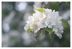 Blossom (leo.roos) Tags: blossom bloesem spring lente tessar bauschandlombtessaric113mmf45 enlargerlens enlarginglens a7rii day113 dayprime dayprime2017 dyxum challenge prime primes lens lenzen brandpuntsafstand focallength fl darosa leoroos