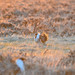 Greater sage-grouse at sunrise